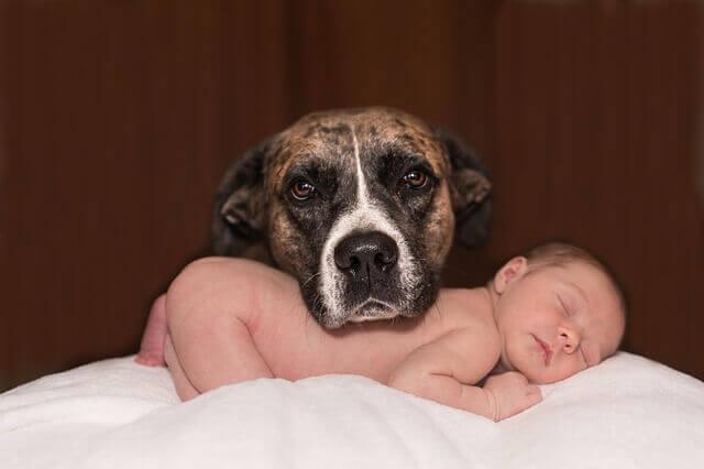 Il est important de ne pas délaisser l'animal domestique quand un bébé arrive dans une famille.