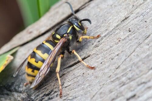 piqûres d'insectes - abeille