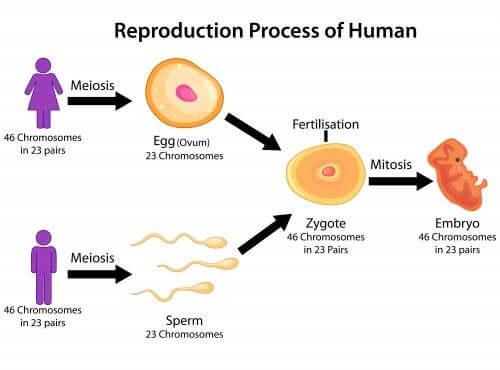 Le processus de la reproduction humaine.