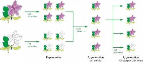 schéma d'héritage génétique