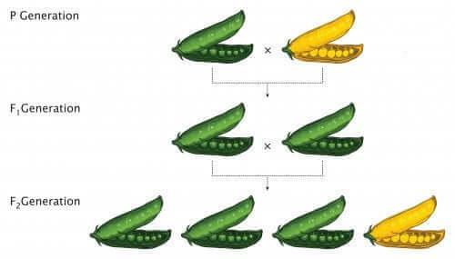 schéma lois de Mendel